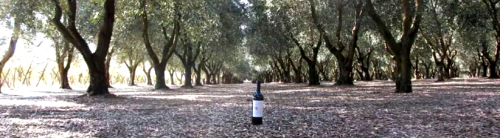 La Pruina Wine amongst the olive trees