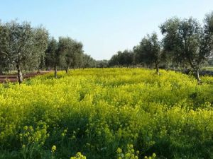 Olive trees and bright yellow flowers