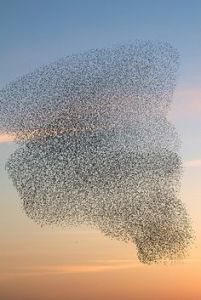 Migrating birds swirling in the sunset sky.