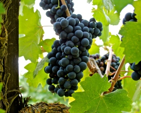 Primitivo Grapes