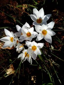 Winter Crocuses Puglia