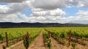 Puglian vineyard