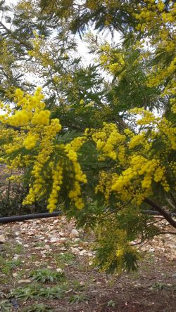 Yellow Mimosa Flowers
