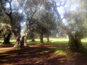 Trimmed Olive Trees