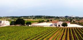 Rows of vines at I Pastini Vineyard