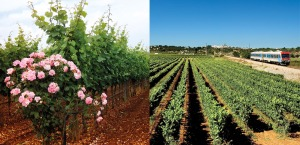 Rows of Vines running parallel with the railway line