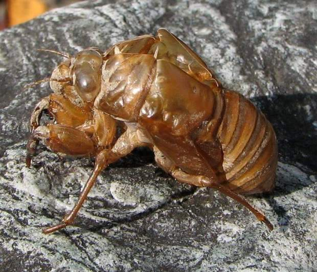 Cicada casing