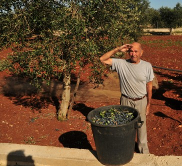 Olive Harvesting in Puglia