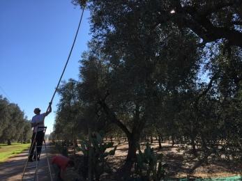 Olive Harvest, Puglia