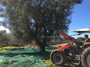Olive harvest in Puglia