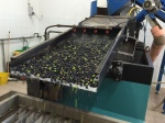 Olives being washed as part of the pressing process