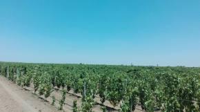 Puglian Vines