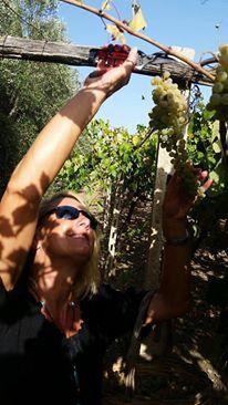 grapeharvest