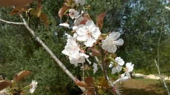 Spring blossom - Puglia
